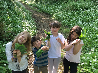 picking wild garlic