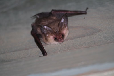 brown long-eared bat plecotus auritus bat walks